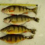Above: A wintertime catch of large yellow perch