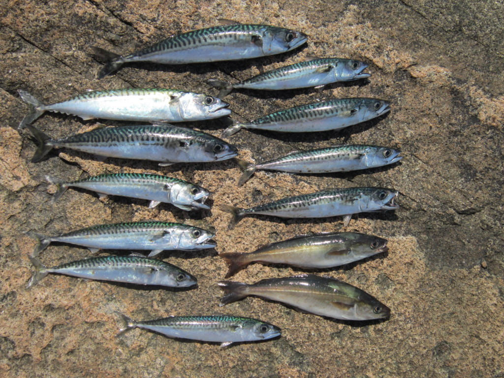 Mackerel and pollock caught from the schoodic Peninsula