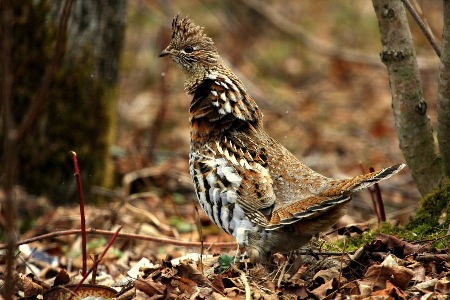 6 tips for hunting ruffed grouse without the help of a dog ...
